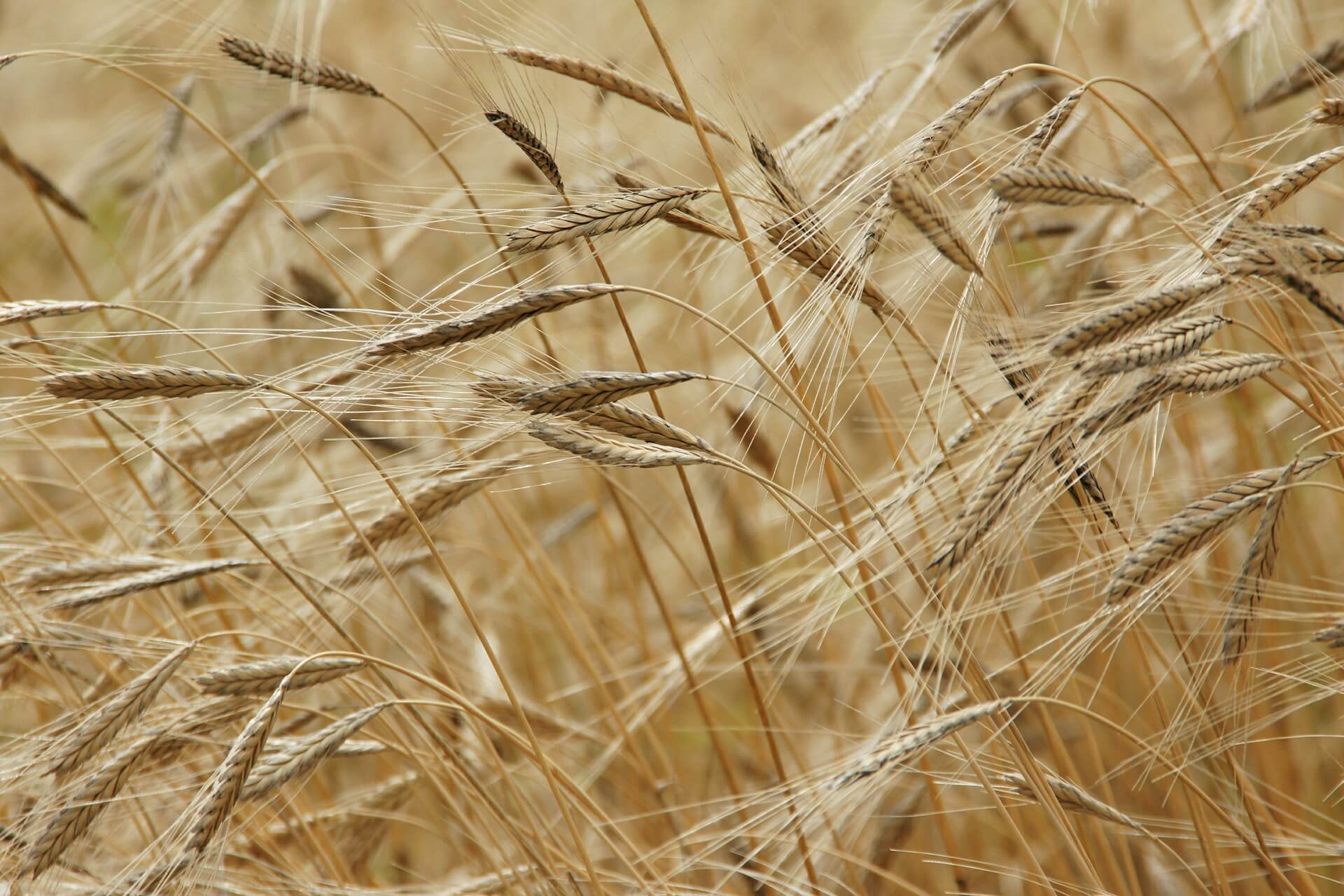 pixabay awns on wheat