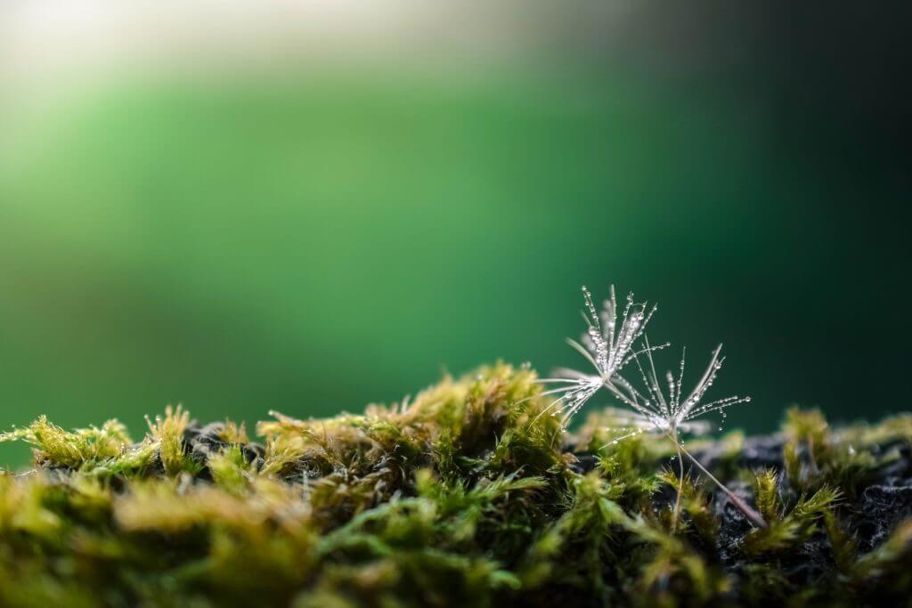 awn testimonials-pixabay dandelion-moss-https://awarenesswithnature.com/