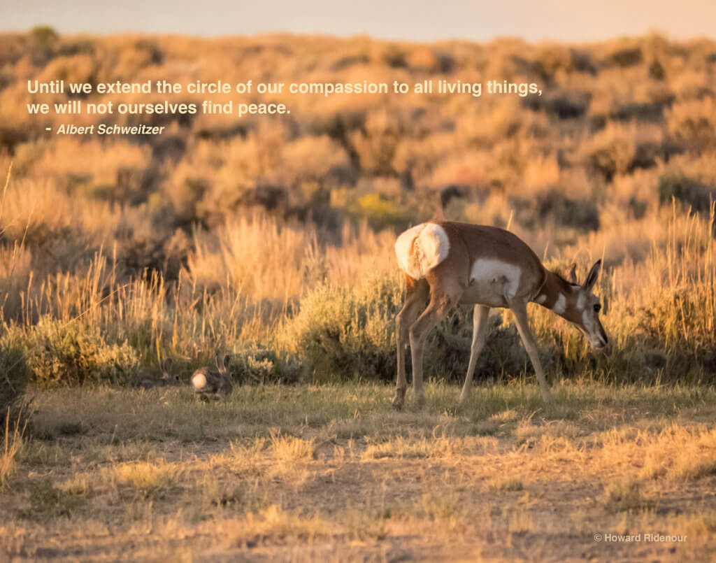 American Pronghorn & Cottontail Rabbits